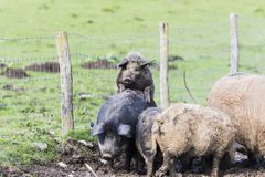Pigs of the mangalica breed. In the field Royalty Free Stock Photography