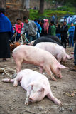 Pigs at Market Royalty Free Stock Images