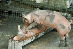 Pigs' massage. A piglet making massage to another one Stock Photography
