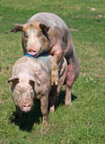 Pigs mating Royalty Free Stock Photo