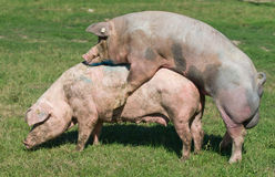 Pigs mating. White pigs mating on farm royalty free stock photography