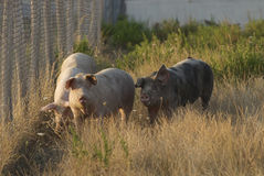 Pigs in the meadow Stock Photo