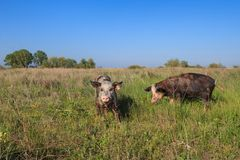 Pigs on a meadow Royalty Free Stock Photography