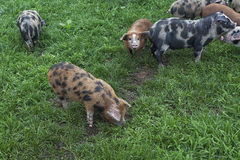 Pigs in the meadow Stock Images