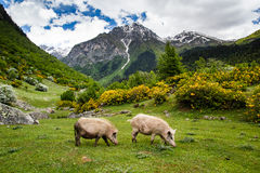 Pigs on mountain pasture Stock Photography