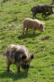 Pigs in the mountains Royalty Free Stock Images