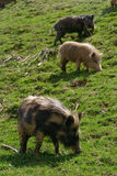 Pigs in the mountains Stock Photography