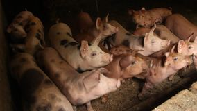 PIGS MOVING ABOUT IN A PIG PEN. DIRTY ANIMALS IN A FARMING stock video