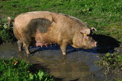 Pigs in mud Royalty Free Stock Photos