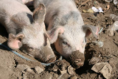 Pigs in Mud Stock Photos