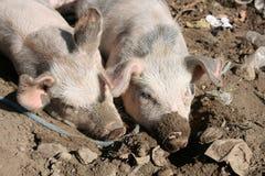Pigs in Mud Stock Photos