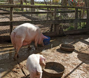 Pigs in the mud Royalty Free Stock Photo