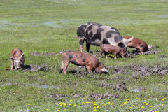 Pigs in a mud Stock Photos