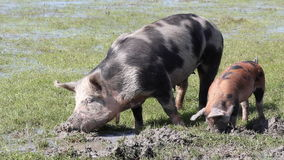 Pigs in a mud