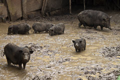 Pigs in a mud Stock Image
