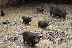 Pigs in a mud Stock Photo