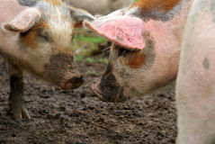 Pigs in mud Stock Photo