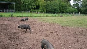 Pigs in a muddy field. Looking happy and loving each other stock footage