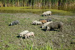 Pigs in the nature Stock Photos