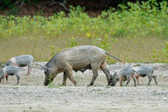 Pigs outdoor Royalty Free Stock Images