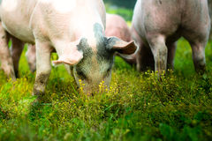 Pigs outside in the grass Royalty Free Stock Images