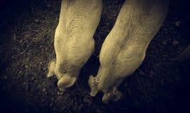 Pigs p? lantg?rd arkivbilder