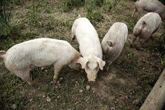 Pigs p? lantg?rd royaltyfri bild