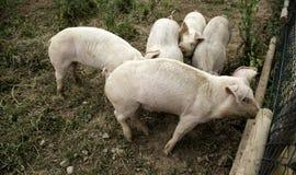 Pigs p? lantg?rd arkivfoto