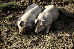 Pigs p? lantg?rd royaltyfria bilder