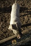Pigs p? lantg?rd royaltyfri foto