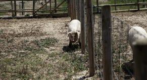 Pigs p? lantg?rd royaltyfria foton