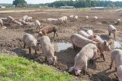 Pigs in the Paddock Royalty Free Stock Photography