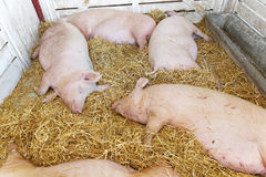 Pigs pandemic. Dead pigs in parlor at farm Royalty Free Stock Image