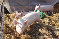 Pigs in pen Stock Photography