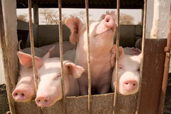 Pigs in pen Royalty Free Stock Photo