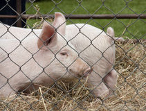 Pigs in pen Stock Images