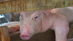 Pigs At Pig Farm stock footage