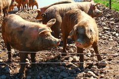 Pigs in pig pen Royalty Free Stock Image