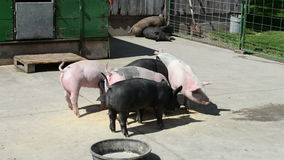Pigs, Pig Pen, Farm, Agriculture. Video of pigs in a pig pen on a farm. Raising swine for food is a part of the business of farming agriculture stock video