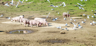 Pigs and pigeons at the meadow Royalty Free Stock Images