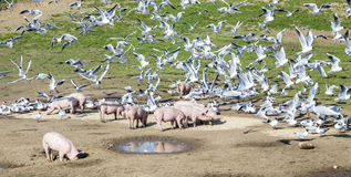 Pigs and pigeons at the meadow Royalty Free Stock Photo