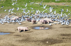 Pigs and pigeons at the meadow Stock Photography
