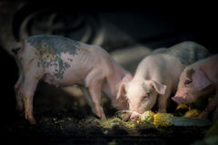 Pigs (piggies) taking foods in farm Stock Photography