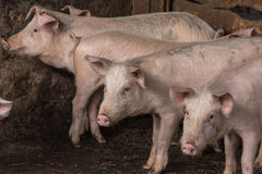 Pigs and piglets on the farm Royalty Free Stock Images