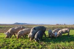 Pigs and piglets grazing. In a field pasturage under blue sky. Natural organic agriculture. Farming stock photography