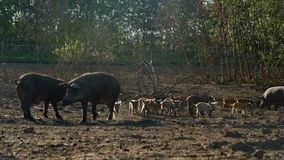 Pigs and piglets walking on pasture at livestock farm. Pig farming. Pigs on farm. Pigs and piglets walking on pasture at livestock farm. Sow pig nursing small stock video