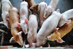 Pigs in a pigpen Stock Images