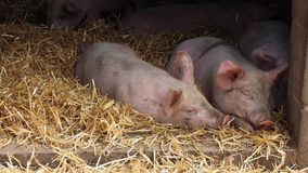 Pigs in pigsty. Two little pigs on a hay in pigsty on the farm in English countryside stock footage