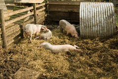 Pigs at play. A family of pigs play in their sty stock photo