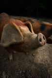 Pigs. A Portrait of a Pigs on Farm Stock Photos